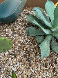 アガベ 品種不明 鉢から地植えへの植え替えで葉を一枚折ってしまいました。写真の真ん中あたりの葉の先のほうです。  この葉はどうするのが1番アガベにダメージが少ないでしょうか?  また、地植えでアガベを植え...