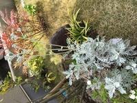 この白い粉が付いているような葉の植物の名前を教えてください。
