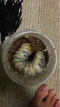 850CCの菌糸ビンに幼虫を入れているのですが、その幼虫が結構大きくて、入口並の大きさです。 成虫になるときにビンが小さすぎて角が曲がるといったことはありますか。 写真は前に菌糸ビンを交換した時のものです。