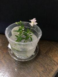 植物の名前教えて頂けないでしょうか。 添付の写真の植物の名前を教えて頂けないでしょうか。 宜しくお願い致します。