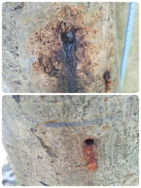 樹木、昆虫等に詳しい方、ご回答 お願いします。家の庭にあるビワの木に 小さな穴が空いていて、木の下には 木くずのような物が落ちていました。 そして、1箇所穴から樹液が出ていました。 何か虫がやったの...
