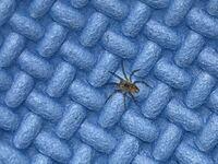 これはアシダカグモの幼体でしょうか?