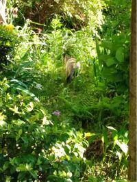 世田谷尾山台で見かけたこの動物はなんでしょうか。 顔が写せませんでしたが、猫よりも顔が長く、毛が固そうでした。