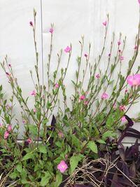 川べりを歩いていてこんな植物を見つけました ホップに似ている草や野ばら?のような花、かわいいピンクの花 これらの名前を教えてください