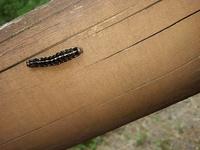 この毛虫、成虫になると何蛾になるのでしょうか?