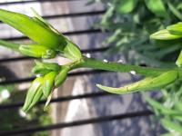 ニッコウキスゲの 花の首元に 白い虫がついています 虫は何でしょう どんな薬剤がいいでしょう