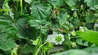 イチゴの水耕栽培をしています。 ここ1週間前から急に葉っぱが丸まりだし、カサカサになりました。 おまけに新芽から枯れ始めたのは何故でしょうか?