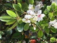 この植物の名前が知りたいです。 写真はつい最近のものです。 全体像をあまり覚えてないのですが、桜に花が似てて、でも葉は少し固そうでした。