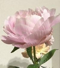 芍薬の花を頂いたのですが、 品種は分かりますでしょうか? 綺麗なので苗を購入したいのですがら 芍薬は品種がとても多いようで 分かりかねます。 よろしくお願い致します。