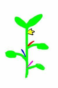 ミニトマトを2本仕立てにしたいのですが第一花房の下の脇芽を育ててそれ以外は手で取るときいたのですが、この絵の場合育てる脇芽は赤い線の脇芽ですか? またその場合、青とピンクの脇芽はとるんですよね?