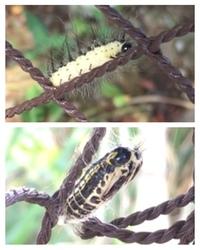 なんの幼虫(毛虫・芋虫・サナギ・前蛹?)でしょうか? 今週関東の道路沿いの木の下のネットに大量にいました。 ざっと数えただけで20匹はいて、長い毛をモゾモゾさせて這っているもの(画像上)、 毛がなく糸を吐い...