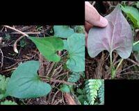 このスペード型の葉っぱを持つ植物の名前を教えてください! 5月上旬に撮影しました。