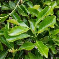 この植木の名前知ってる方教えて下さい