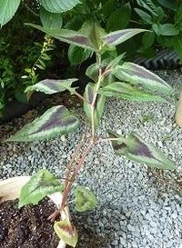 植物名を教えてください。山野草好きのご近所から頂いた植物ですが、その方も名前がわかりません。葉っぱも花もヒメツルソバにそっくりですが、匍匐性ではなく立性です。 しかも草丈も葉も大きく、写真のものは38...