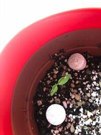 トマトの種をまいて 芽が出たのですが、これは病気ですか?  間引き前です。  他のトマトはこんなふうにはなってないのですが。。