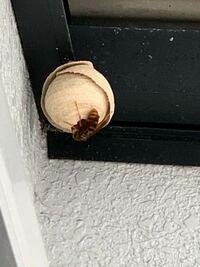 洗濯物を干そうとしたら蜂の巣ができていました これはオオスズメバチでしょうか?キイロスズメバチでしょうか?