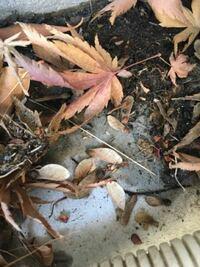 これはシロアリの羽でしょうか? お世話になります。 一軒家の駐車場ですが、大量に羽アリと思われるものの羽が落ちていました。 羽アリそのものは見当たらなかったのですが、シロアリの羽なのか調べてもよくわからなかったので質問いたしました。 おわかりになる方、ご教示頂きますようよろしくお願いします。