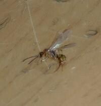 この虫はシロアリまたはクロアリですか?