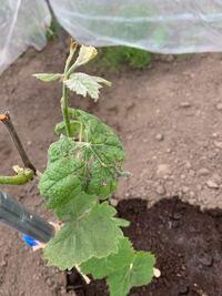写真はブドウのシャインマスカットの苗木です。 葉に黒い点がありますが、黒とう病でしょうか? 茎にも茶色っぽい斑点がたくさんあります。 仮に黒とう病の場合、対応はどうしたら良いでしょうか? 以前からオー...