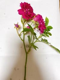 挿し枝/つるバラ  こんにちは。挿し枝に挑戦しようと思っておりますが、この写真のつるばらは挿し枝にできるでしょうか? またできるならば花の部分は切って枝だけ挿すということでよろしい でしょうか?  ご存知の方ご回答よろしくお願いします。