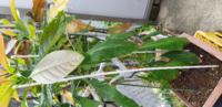 去年から育てているアボカド。 気温が上がり新芽が出てきたのですが、前からあった下の葉が変色して下を向いています。何かの病気でしょうか? 茶色い部分は去年の葉焼けです。先月、この新しい鉢に植え替えもし...