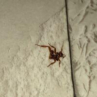 【閲覧注意】この虫はチャバネゴキブリでしょうか? 潰れているので分かりづらいですが、体は薄茶色、触角はゴキブリより短く見えます。 サイズは3cmほど、脚や触角を除くと2cmほどです。  新築戸建に入居して1ヶ月も経たぬうちにチャバネゴキブリらしき虫が出ました。 とは言え、私は幸運にもゴキブリに遭遇しない環境で暮らしていたため見るのは初めてです。  レンジフード(整流板がついた平たいタイプ)の...