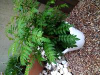 園芸の初心者です。この山椒の植木鉢の株元は、剪定した方がいいですか?葉っぱが混み合ってきています。