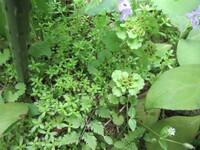 裏庭に生えてきた、ネコノメソウの左側の植物の名前を教えて下さい。マンネングサの仲間?