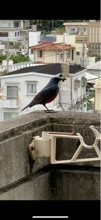 この鳥が自宅のベランダに巣を作ってしまいました。鳥の名前わかる方居ませんか?攻撃してくる鳥ですか?洗濯物干そうと外にでると必ず来ます。本当に怖くてビクビクしてます。ご存じの方よろしくお願い申し上げます 。