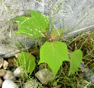 片隅,植物,アカメガシワ,畑,Google画像検索