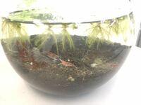 金魚鉢程度の水槽に、レッドファイヤーシュリンプ4匹がいます 投げ込みフィルターかブクブク(ストーン)を入れるか迷ってます おすすめの下にしげるようなエビに良い水草を教えて下さい 夏で熱くなり酸欠を防ぐために、入れた方が良いでしょうか 餌は最小限