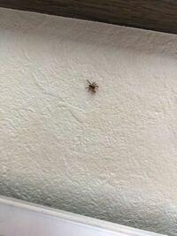 画像注意です このクモの種類わかる方教えてください 壁にいました 5ミリくらいでオレンジの手足に黒の胴、前足二本が長くて糸は出してなかったです