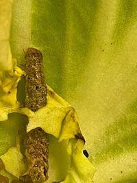プランター栽培のルッコラについていました。 モンシロチョウだと思って飼っていたら 体が茶色に。。。  何の幼虫ですか?