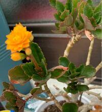この花はなんという名前の花かご存知の方おられましたら教えてください。 私は花を育てるのが苦手で… という話をした際に、お花が好きな方から、この花はほっといても大丈夫。むしろほっといたほうがいいくらい! とすすめられ、半信半疑で購入したところ、数年経った今もほぼほったらかしですが毎年咲いてくれるので、この花であればもっと育ててみたいなと感じたのですが、名前がわかりません。 ご存知の方おられまし...