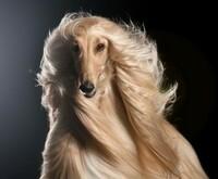 毛並みが綺麗といえば、どんな犬種をイメージしますか?