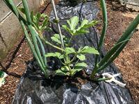 メロンとスイカを栽培しています。 コンパニオンプランツのネギを混植してみたのですがこれで良いでしょうか?(メロンも同じように両脇にネギを植えました)