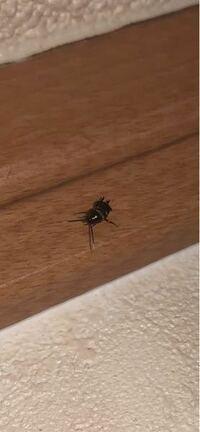 これってゴキブリの赤ちゃんですか?ここ数日で3匹似たような虫が見つかりました。