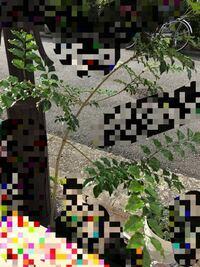 シマトネリコです。この様に枝が真横に広がってしまい、理想的なYの字になりません。しかも枝の先端に葉が集中し、間がスカスカです。どうすれば葉が先端に集中しませんか?確かに北向きで日当たりが悪いので陽が当 たる所に葉が集中している感じはします。枝の中腹に出た芽も成長がかなり遅いです。いい剪定の仕方があればご教授ください。