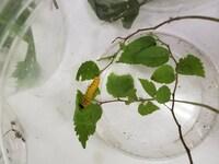 【画像注意】イモムシの種類を知りたいです。 画像のイモムシの種類と、なんの葉っぱを 食べるか知りたいです。 よろしくお願いします。