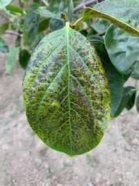 富有柿の葉が黒くなって来ました。 他の柿の木は影響ありません。原因は何か教えてください。また、対策の消毒等あればご指導願います。
