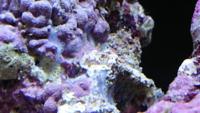 海水魚水槽を1週間前に始めました。 1週間前に水槽を立ち上げて2日前にライブロックを導入しました。異臭がしないことと魚などを入れていないので、直接入れてます。 本日、ライブロックを見ると白い膜?のよ...
