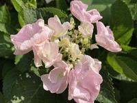 紫陽花の品種がわかりません。  写真の紫陽花の品種をご存知の方がいらっしゃいましたら教えて頂けませんでしょうか。 もう何年も庭にあるものです。  ガクアジサイで、薄色の花弁が丸く大 きく、ややおたふくのように咲くのが特徴です。 花つきはよく、株も大きいです。  特徴で調べてみてもなかなか見つからず…。 よろしくお願い致します。