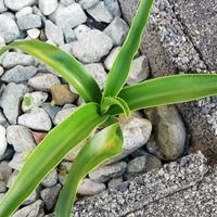 植物に詳しい方に質問です。  家の玄関先に生えてるこの、植物はなんという名前でしょうか? picturethisという、植物の種類を判別するアプリでは、アガベ、リュウゼツランと出てきました。 本当にアガベだったら鉢に植え替えて育てようと思います。