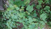 この雑草の名前を教えて下さい。蔦で広範囲に生えていて、大きいものだと手のひらくらいの大きさの葉っぱです。 花はまだ蕾のようで、白い小さな蕾が固まって(紫陽花のような)ついています。