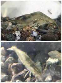 川エビの種類について教えてください。 先日、流れの緩やかな浅い川で、画像のような川エビを捕まえました。 このエビの種類をご存知の方がいれば教えていただけますでしょうか。 同時に捕まえたハヤと同じ水槽に...