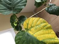 観葉植物についてです。フィカスウンベラータの植え替えに失敗してしまったようです。植え替えなければ良かったと後悔しております。新しい葉も出てきていたのですが、1番上の葉が黄色くなって しまいました。こ...