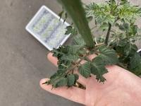 ミニトマトの葉の縮れについて。ミニトマトの新しい葉が縮れています。モザイク病か窒素過多が原因だと思うのですが、どうでしょうか。