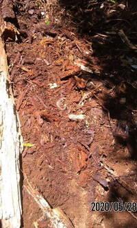 この幼蛇はマムシでしょうか? それともアオダイショウの幼蛇でしょうか? 紋ではマムシの様でしたが、怖かったので、近くで撮影はできませんでした。 その後、この辺りで大きなアオダイショウの違う個体を2匹ほどみました。  この幼蛇は杉の丸太が半分ほど地面に埋まっていて、その丸太を取り除いたら、でてきました。 太陽の陽にあたって、まぶしいじゃないか! と不平を言って、枯れ枝の下へ潜っていき...
