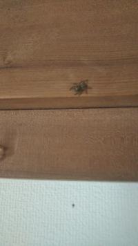 今日のお昼に出てきた蜘蛛さん 何の種類の蜘蛛かわかりますか? あと殺すべきでしょうか? そこまで大きくないし、夜だったら殺してるかもしれませんが ご回答お願いします! お待ちしてます!