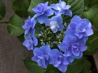 このガク紫陽花の種類…?品種名?はなんでしょうか!なんて名前なのか知りたいです!